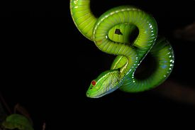 image of green snake  - Trimeresurus stejnegeri is most common in Taiwan - JPG