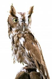 pic of screech-owl  - Portrait of an Eastern Screech Owl isolated and placed on a white background - JPG