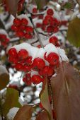Snow Covered Crab Apples