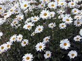 Dozens Of Daisies