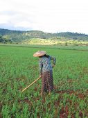 One Farmer Woman Working In A Ricefield, Kalaw, Myanmar