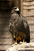 black eagle perched on a wooden branch