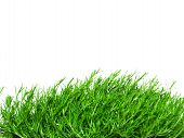 picture of irish moss  - green Irish Moss carrageen moss ground cover - JPG