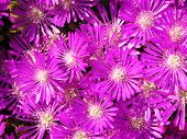 Bright Pink Iceplant Flowers