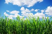 green lawn isolated on sky