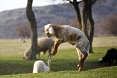 Lamb Jumping On A Field In Spring