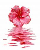 Pink Flower In Water With Reflection