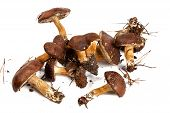 Boletus And Xerocomus Badius Mushrooms