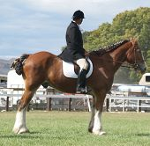 foto of clydesdale  - A Clydesdale and rider competing in the mounted section of the Clydesdale competition - JPG