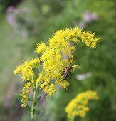 Beetles on Goldenrod
