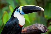 White Chested Toucan
