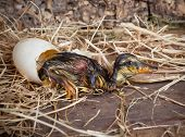 Tired hatchling duck resting beside its egg