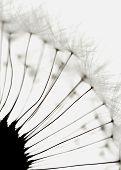 Seeds Of A Dandelion