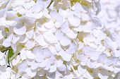 Flower Summer Background With White Hydrangea Flowers Blooming In The Summer Garden. Closeup Of Whit poster
