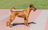Irish Terrier Profile.  The Irish Terrier Stands In City Park. poster