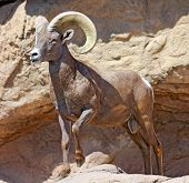 Big Horn on guard