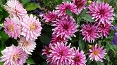 Pink And Purple Dahlia, Dahlia Variabilis