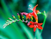 foto of crocosmia  - Crocosmia flower - JPG