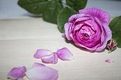 Beautiful Rose Flower In Garden. Rose Flower Background. Roses Flower Texture. Lovely Rose. Roses In poster