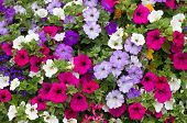 stock photo of petunia  - Lots of Colorful petunia flowers close up - JPG