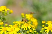 Honey Bee Collecting Nectar From Yellow Flowers In The Spring Time. Bee Pollinating Yellow Wild Flow poster
