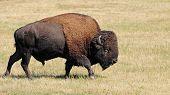 American buffalo, bison
