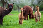 Alpacas With Offspring, A South American Mammal poster