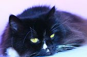 Black Cat Laying On Pink Tender Background. Domestic Pet Having A Rest. Domestic Animal. Black Cat S poster