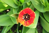 Red Tulip On Flower Bed In Garden. Red Tulip Planted In Garden. Springtime Garden. Alone Tulip In Fl poster