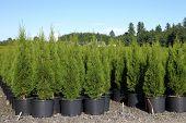 Pine Tree Seedlings In A Nursery, Oregon.