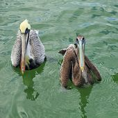 Male and Female Brown Pelicans
