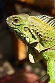Green Asian Reptile Iguana Close Up