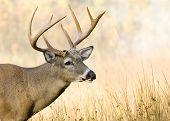 stock photo of bambi  - A Whitetail deer buck close - JPG