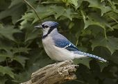 stock photo of blue jay  - A Blue Jay perched on a log - JPG