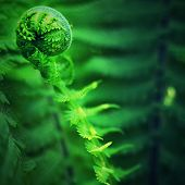 Nephrolepis Exaltata The Sword Fern. Fresh Green Fern Bush In Detail, Looking Into Bush Of Fern In F poster