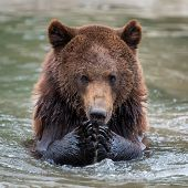 Brown Bear (ursus Arctos) Swimming In A Water poster