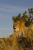 Mountain Lion walks along mountain edge