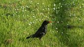 Common Blackbird - Ornithology - Fauna And Flora poster