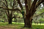 Spanish moss draped oaks at Hofywl-Broadfield Plantation