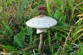 Edible Parasol Mushroom  Camouflaged In The Grass Grows To A Height poster