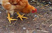 Pecking Chicken