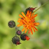 Flores de naranja vellosilla