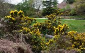Yellow Gorse Bushes Blooming Along The Coast To Coast Walk. poster