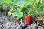 Strawberries In Garden