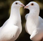 White Pigeons Couple