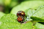 Potato Beetles Mating On Leaves