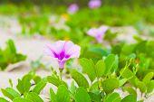 Pink Flower Of Convolvulus Arvensis Or Field Bindweed. It Is A Species Of Bindweed That Is Rhizomato poster