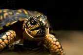 picture of the hare tortoise  - Close up of a box turtle with black background - JPG