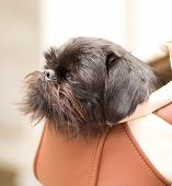 The miniature Schnauzer is sitting in a bag on the shoulder of the owner