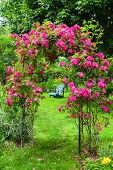 A lawn chair on the lawn in a rose garden. poster